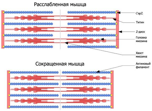 Рис. 1. Классическая картинка, показывающая структуру мышцы