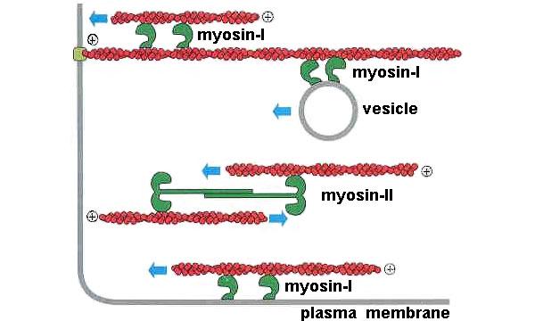 Рис.5. Вот примеры функций, которые могут выполнять в клетке миозины различных видов. Они могут тянуть вдоль актиновой нити какой-либо груз (вданном случае везикулу), могут сдвигать актиновую нить относительно другой актиновой нити либо относительно мембраны и могут, наконец, обеспечивать мышечное сокращение.
