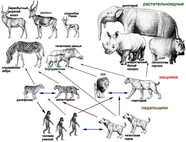 Схематическое (очень упрощенное) отображение пищевой цепи млекопитающих около 2млн лет назад. Показаны блоки среднеразмерных и крупных растительноядных животных, средних и крупных хищников и падальщиков. Рисунок из обсуждаемой статьи в Вестнике Московского университета