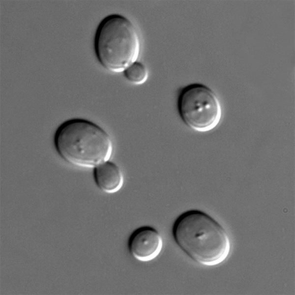 Микроскопические грибки используемые при выпекании