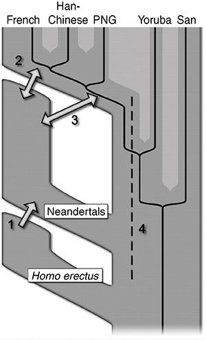 Возможные сценарии встреч неандертальцев с сапиенсами, в результате которых геном евразийского населения обогатился генами неандертальцев. Ученые остановились на третьем сценарии. Его преимущество — логичное присутствие неандертальских генов у жителей Папуа Новой Гвинеи. Сценарий 2 (скрещивание поздних неандертальцев с ранними европейцами и последующий дрейф генов) менее вероятен, так как неандертальцы одинаково близки и с европейцами, и с азиатами, и с папуасами. Рис. из обсуждаемой статьи в Science «A Draft Sequence of the Neandertal Genome»