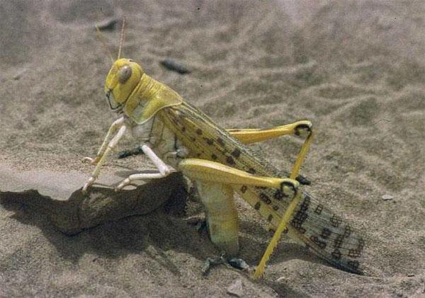 Самка пустынной саранчи (Schistocerca gregaria), откладывающая яйца. Фотография сделана Christiaan Kooyman в1994году во время вспышки численности этого вида вМавритании. Фото с сайта en.wikipedia.org