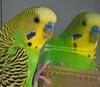 Общительные волнистые попугайчики образуют более крепкие пары