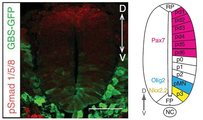 Нервная трубка мышиного эмбриона в поперечном разрезе