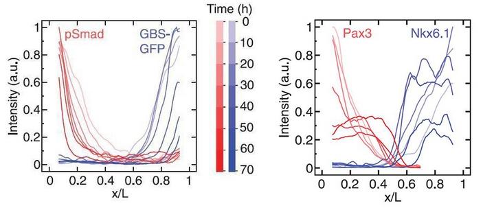 Интенсивность сигналов, получаемых от морфогенов