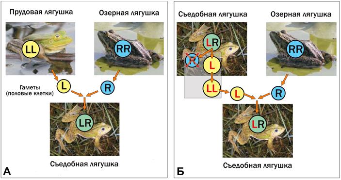 Рис. 2. Пример видообразования узеленых лягушек