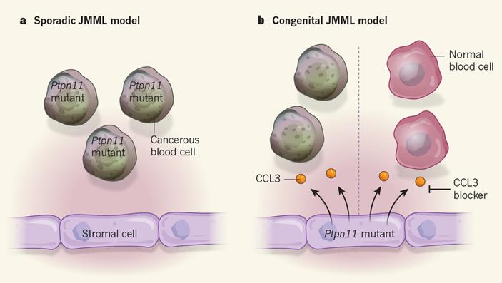 Мутация гена Ptpn11 вызывает рак