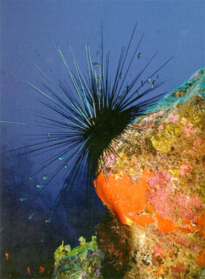 http://elementy.ru/images/news/sea_urchin_diadema_antillarum_300.jpg