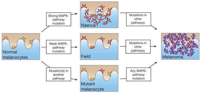 Генотипирование индивидуальных меланоцитов кожи выявило пути их злокачественной трансформации