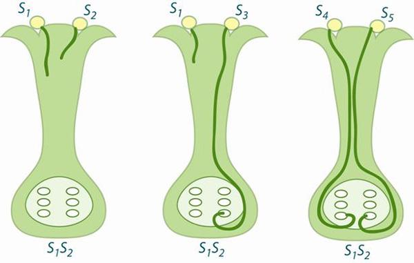Схема работы механизма самонесовместимости урастений. Рисунок с сайта homes.bio.psu.edu