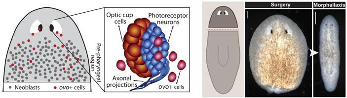 Рис. 1. Передняя часть тела планарии и её глаз, состоящий из фоторецепторных нейронов и пигментных клеток глазной чашечки