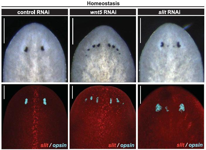 Рис. 4. Восьми- и четырехглазые планарии, полученные путем отключения генов позиционного контроля wnt5 и slit