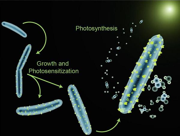 Рис. 1. Схема гибридной фотосинтезирующей системы, созданной американскими биоинженерами