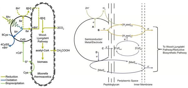 Рис. 3. Схема работы фотосинтезирующей системы Moorella thermoacetica — CdS