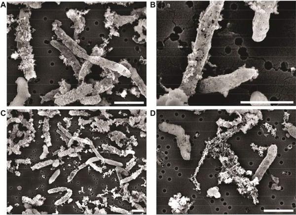 Рис. 4. Фотоокислительная деградация клеточных оболочек после исчерпания запасов цистеина в среде