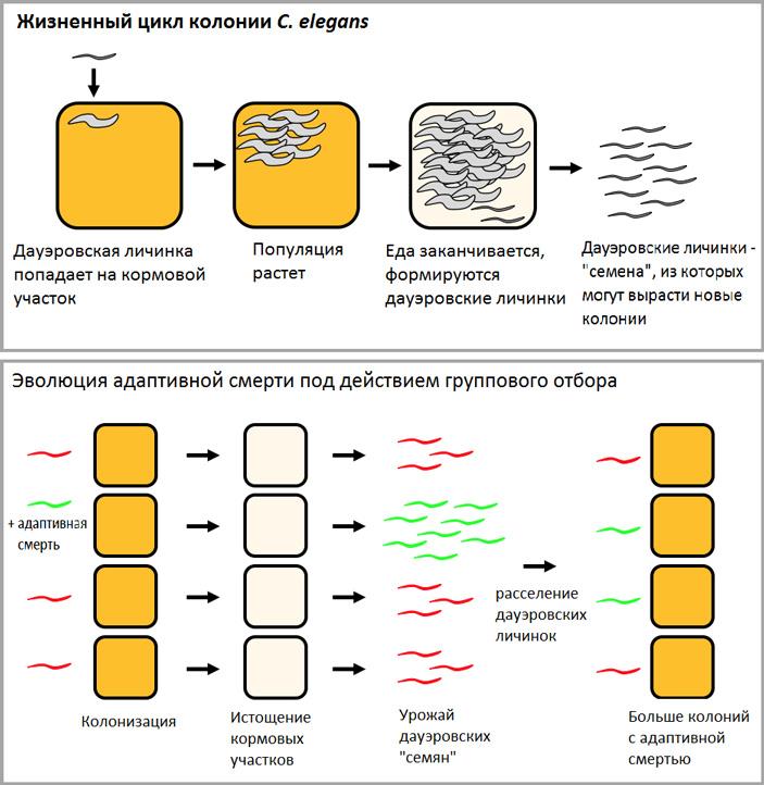 Схема жизненного цикла C. elegans, где в качестве размножающегося организма рассматривается не особь, а колония