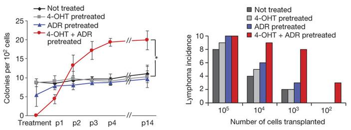 Рис. 3. Формирование колоний лимфоидными клетками