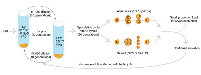 Половое размножение по-разному влияет на молекулярную эволюцию диплоидных игаплоидных дрожжей