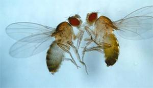 Самки мушек для спаривания выбирают знакомых партнеров, самцов же привлекает новизна