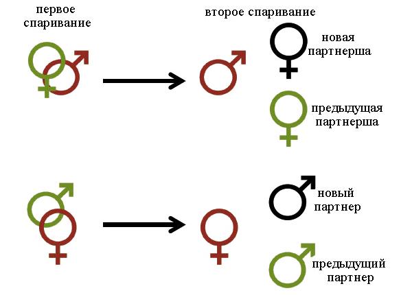Рис.1. Схема эксперимента. Мушек ссаживают для первого спаривания, затем для второго спаривания предъявляют на выбор предыдущего партнера/партнершу или новую особь