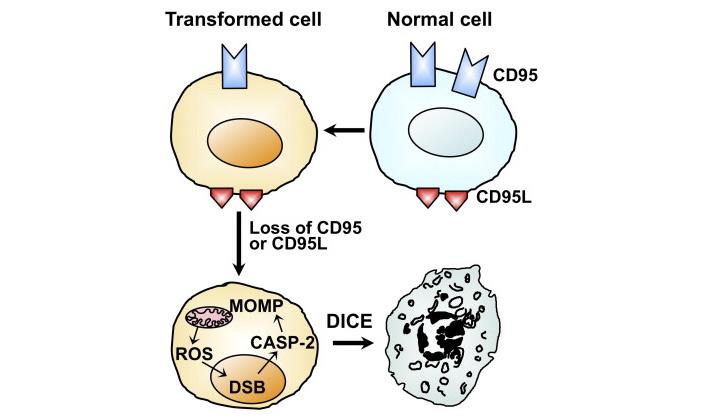 Рис. 1. Превращение клетки враковую и ее последующая гибель