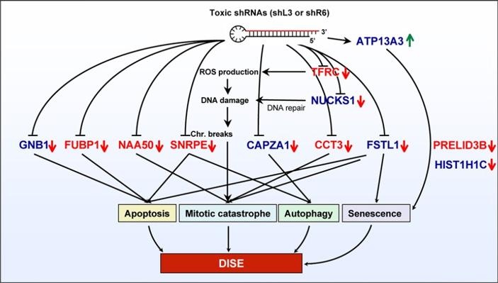 Рис. 3. Результат действия мшРНК кCD95 и CD95L на клетку