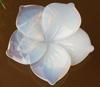 Ботаники вырастили опаловые цветы
