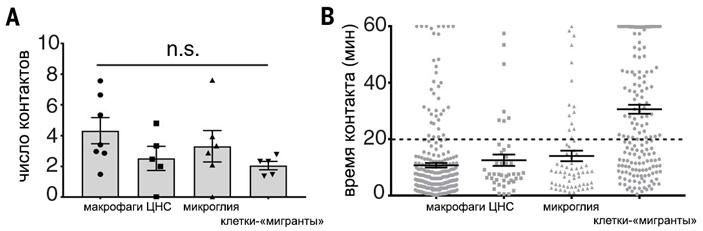 Рис. 6. Время и количество контактов Т-клеток с антигенпрезентирующими клетками