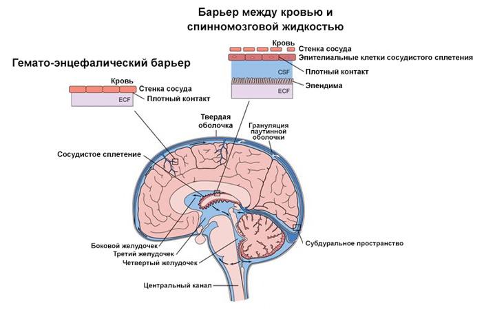 Рис. 2. Строение головного мозга и его защитные барьеры
