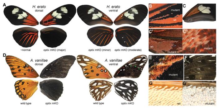 Рис. 2. Влияние нокаута гена optix на морфологию и окраску чешуек у H. erato и A. vanillae