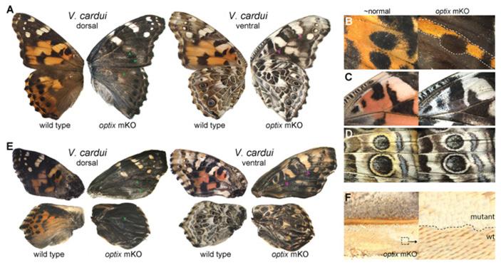 Рис. 3. Влияние нокаута гена optix на морфологию и окраску чешуек у V. cardui