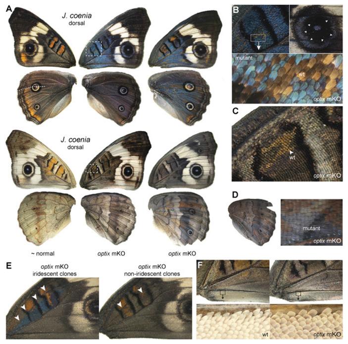 Рис. 4. Ген optix координирует развитие пигментной и структурной окраски у J. coenia