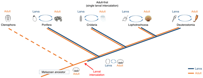 Предложена новая гипотеза происхождения личинок многоклеточных животных
