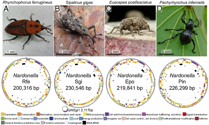 Использованные в исследовании жуки-долгоносики и строение геномов живущих в них симбиотических бактерий из рода Nardonella