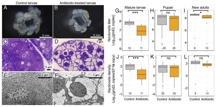 Рис. 4. Подавление нардонелл антибиотиком в жуках