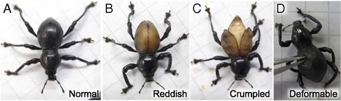 Рис. 5. А — нормально развитый жук Pachyrhunchus infernalis с черными твердыми надкрыльями