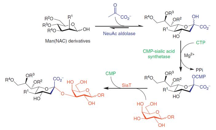Рис. 4. Схема преобразования N-ацетилманнозамина в сиаловую кислоту