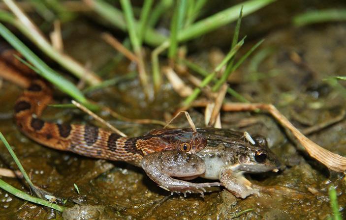 Рис. 1. Трансамериканский кошачьеглазый уж (Leptodeira septentrionalis) поедает лягушку