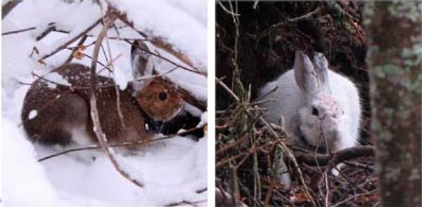 Зайцы прячутся, но не слишком удачно