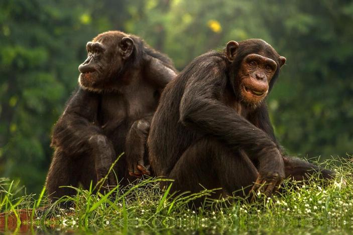 Пожилые шимпанзе предпочитают старых друзей