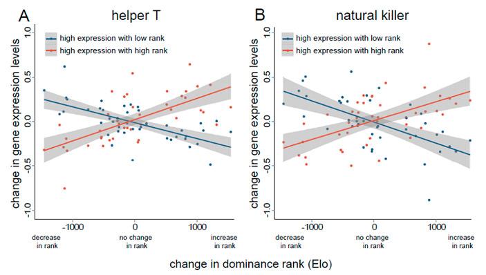 При смене социального статуса меняется экспрессия генов в Т-хелперах и естественных киллерах