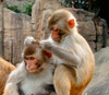 http://elementy.ru/images/news/social_status_and_health_in_macaques_logo_100.jpg