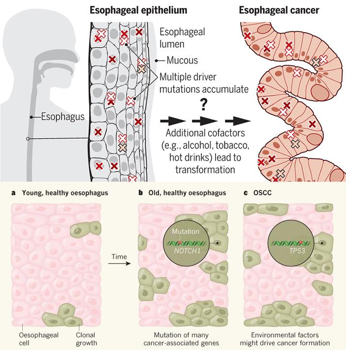 Рис. 1. Накопление мутаций в эпителии пищевода по мере старения