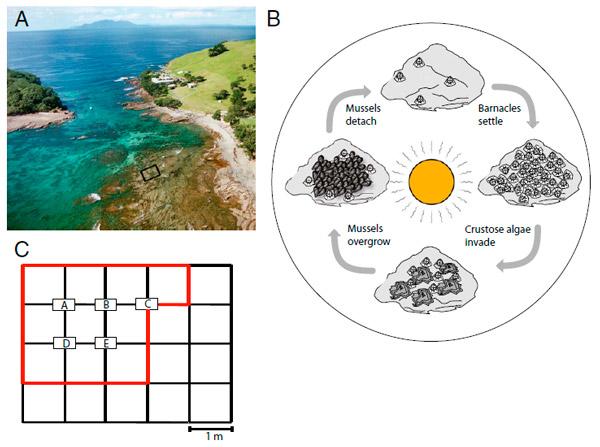 <b>Рис. 1.</b> Сообщество скалистой приливно-отливной зоны