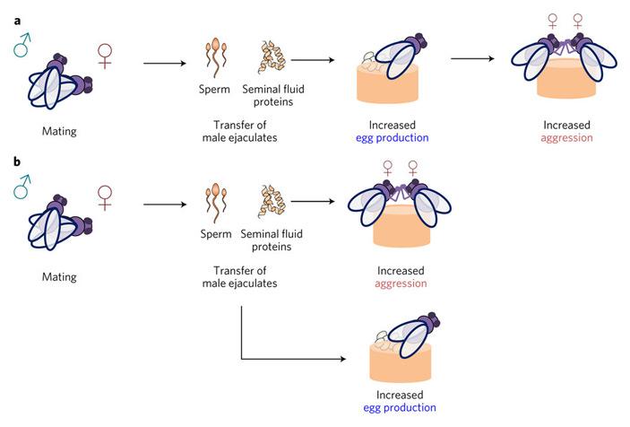 Два возможных механизма повышения женской агрессивности (Increased aggression) после спаривания (Mating)