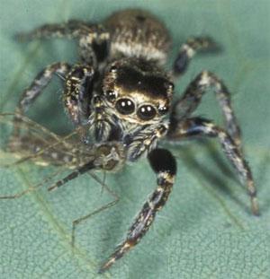 http://elementy.ru/images/news/spider_evarcha_culicivora_300.jpg