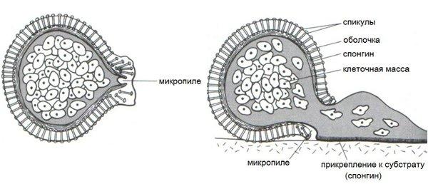Рис.3. Геммула и начало развития губки из нее