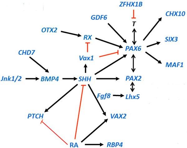 Рис.4. Генная сеть, управляющая развитием глаза учеловека