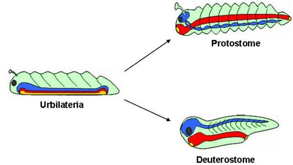 Рис.5. Гипотеза сложного предка двусторонне-симметричных животных