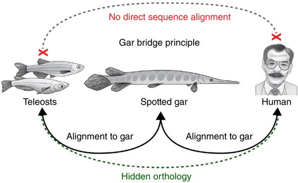 Рис. 3. Схема сравнения генов костистых рыб, человека и панцирной щуки